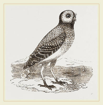 Burrowing Drawing - Burrowing Owl by Litz Collection