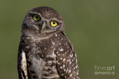 Photograph - Burrowing Owl by Meg Rousher