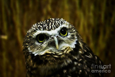 Photograph - Burrowing Owl by Ms Judi