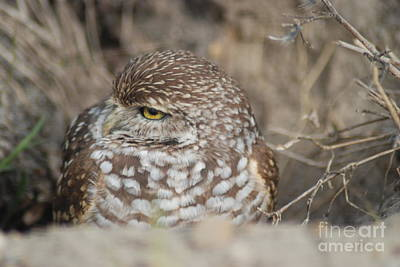 Photograph - Burrowing Owl by Oksana Semenchenko