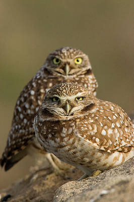 Burrowing Owl Wall Art - Photograph - Burrowing Owl Pair by Ken Archer