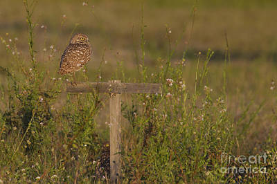 Photograph - Burrowing Owl Photo by Meg Rousher