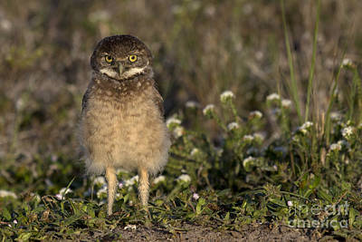 Roaring Red - Burrowing Owl Photograph by Meg Rousher