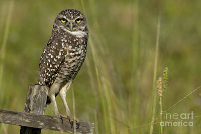 Photograph - Burrowing Owl Stare by Meg Rousher