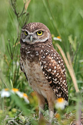 Photograph - Burrowing Owl by Theo O Connor