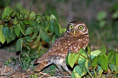 Burrowing Owl Wall Art - Photograph - Burrowing Owl by Tony Camacho/science Photo Library