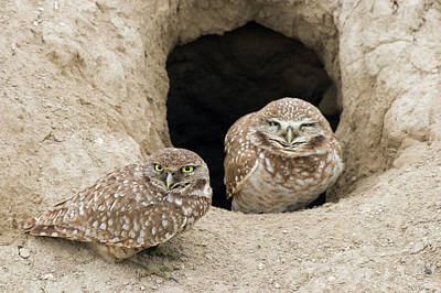 Burrowing Owl Wall Art - Photograph - Burrowing Owls At Nest Entrance by Ken Archer