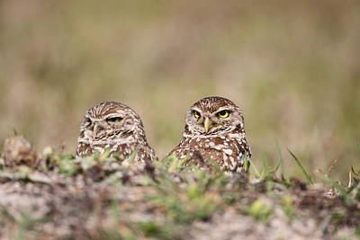 Photograph - Burrowing Owls by Brian Magnier