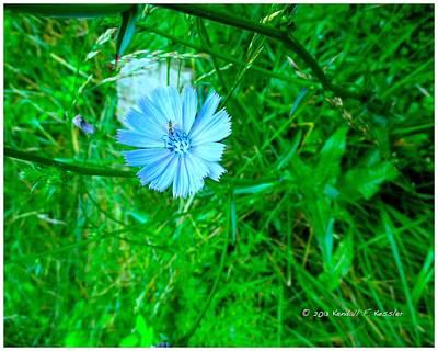 Photograph - Burst Of Chicory by Kendall Kessler