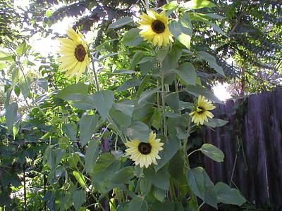 Burst Of Sunflower  Art Print by Mike Friedman
