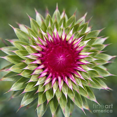 Burst Of Thistle Art Print