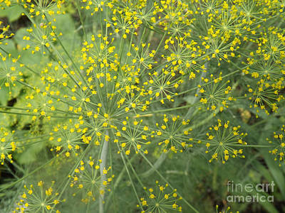 Photograph - Bursting Dill Plant by Brenda Brown