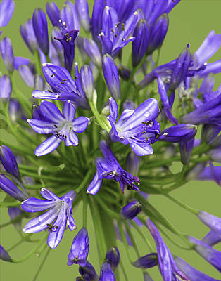 Photograph - Bursting Into Bloom - The Agapanthus Series by Karen Stephenson