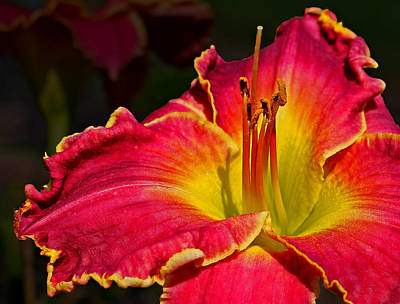 Photograph - Bursting With Color by Judy Vincent