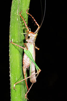 Ecuadorean Fauna Photograph - Bush Cricket by Dr Morley Read