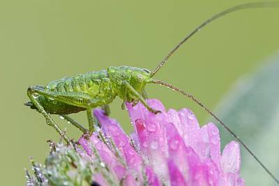 Cricket Photograph - Bush Cricket by Heath Mcdonald