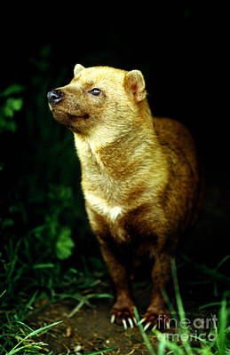 Bush Dog Speothos Venaticus Art Print by Art Wolfe