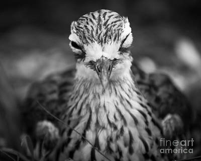 Photograph - Bush Stone Curlew by Craig Dingle