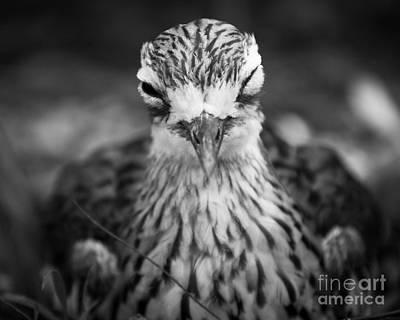 Photograph - Bush Stone Curlew by Craig Dingle