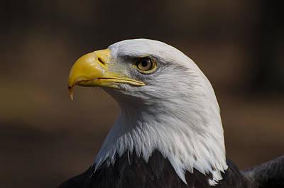 Bird Of Prey Digital Art - bust image of a Bald Eagle by Chris Flees