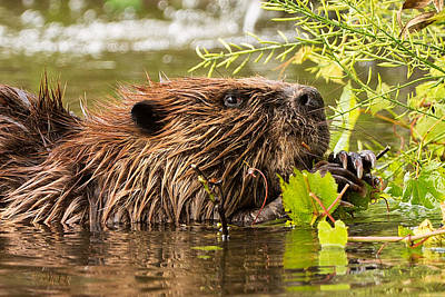 Beaver Wall Art - Photograph - Busy As A Beaver by Everet Regal