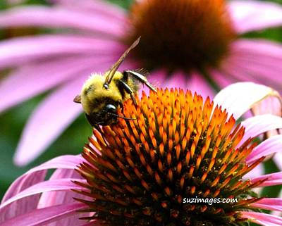 Photograph - Busy As A Bee by Susie Loechler