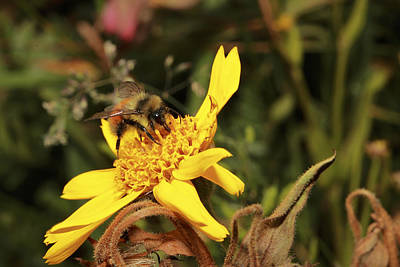 Photograph - Busy Bee by Alan  Ley