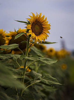 Photograph - Busy Bee by Amber Kresge