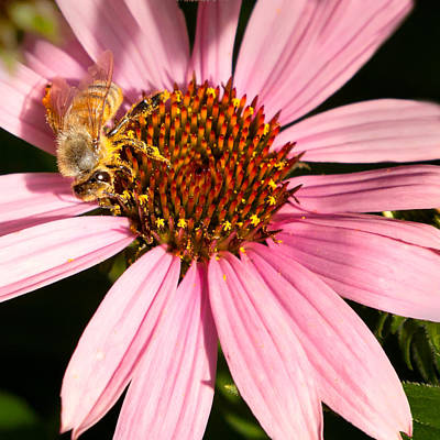 Photograph - Busy Bee by Bill Wakeley