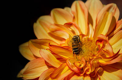 Busy Bee Dahlia Art Print
