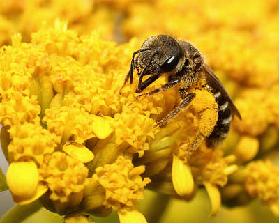 Art Print featuring the photograph Busy Bee by Dawn Currie