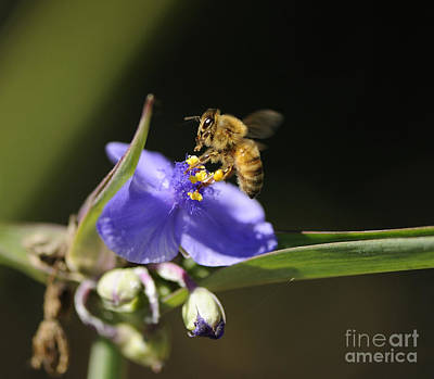 Photograph - Busy Bee by Nancy Greenland