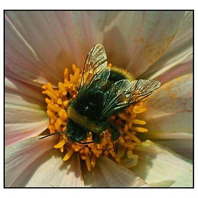 Nature_shooters Photograph - Busy Bee  #nature_shooters by Wanda Sierotowicz