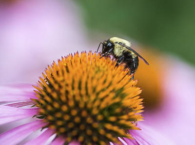 Bee Collects Nectar Photograph - Busy Bee On Cone Flower by Vishwanath Bhat