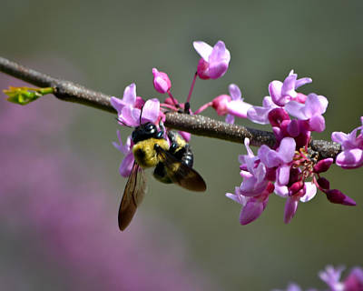 Photograph - Busy Bee On The Bud by Mary Zeman