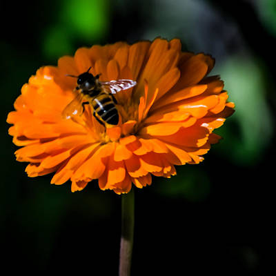 Designer Photograph - Busy Bee by Renee Barnes