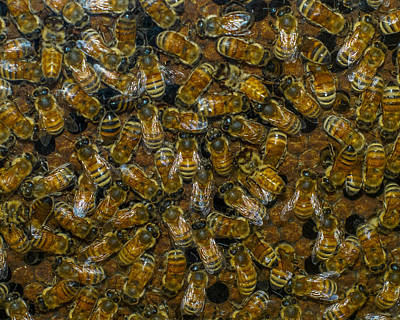 Photograph - Busy Bees by Ernie Echols