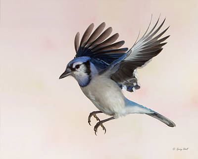 Photograph - Busy Billy Blue Jay by Gerry Sibell