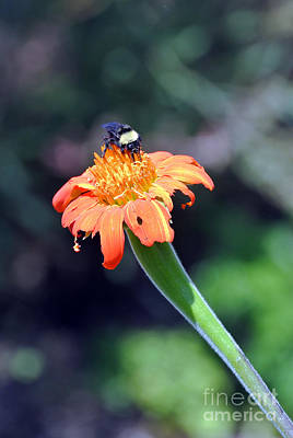 Photograph - Busy Bumble Bee by Laura Mountainspring