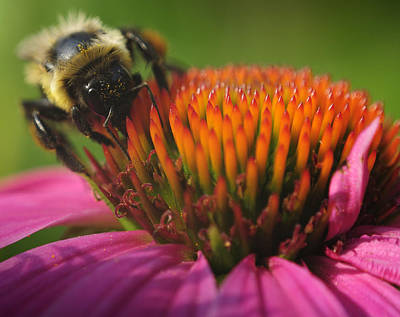 Photograph - Busy Bumble Bee by Luke Moore