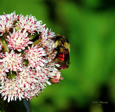 Photograph - Busy Little Bee II by Jeanette C Landstrom