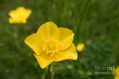 Buttercup Collection Photo 2 Art Print