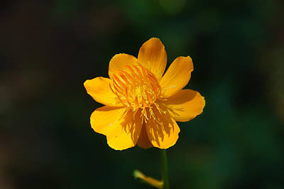 Photograph - Buttercup by Aimee L Maher Photography and Art Visit ALMGallerydotcom