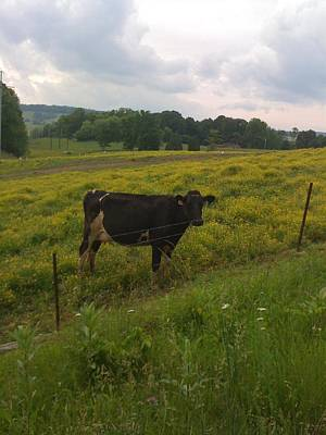 Photograph - Buttercup Cattle by Elizabeth King