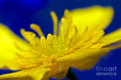 Photograph - Buttercup Macro by Sharon Talson