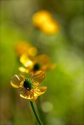 Photograph - Buttercups II by Tracy Male