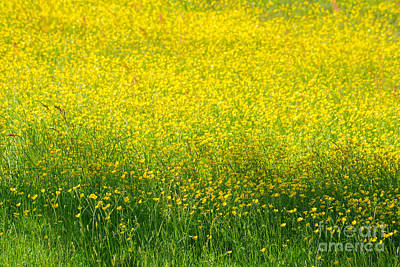 Photograph - Buttercups by Lutz Baar