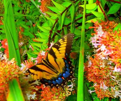 Photograph - Butterflies 1 by Ron Kandt