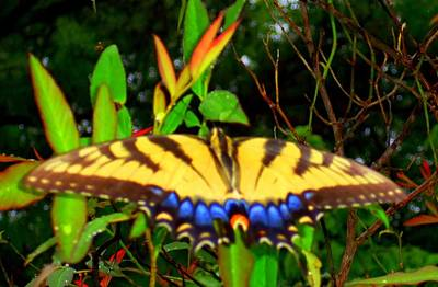 Photograph - Butterflies 10 by Ron Kandt