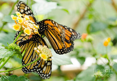 Photograph - Butterflies 13 by Andrea Anderegg